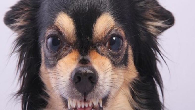 Bilime Göre Küçük Köpekler, Büyük Köpeklerden Daha Agresif
