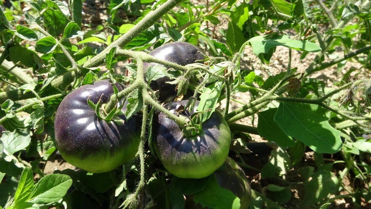 Isparta'da siyah domates üretildi #4