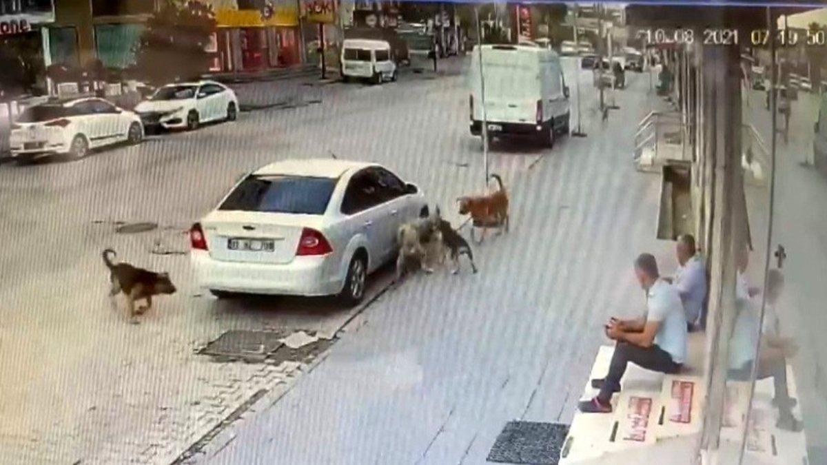 Osmaniye'de sokak köpeklerinin kavgası esnafı korkuttu