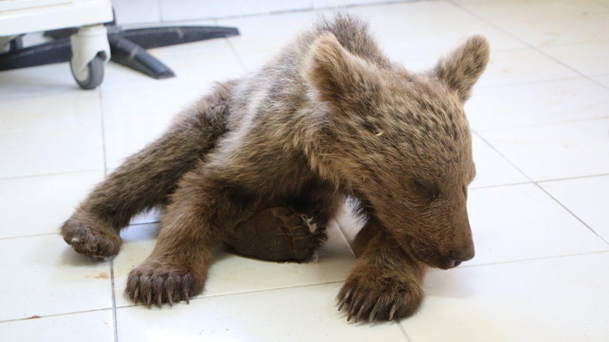 Tunceli'de kayadan düşen yavru ayı tedaviye alındı