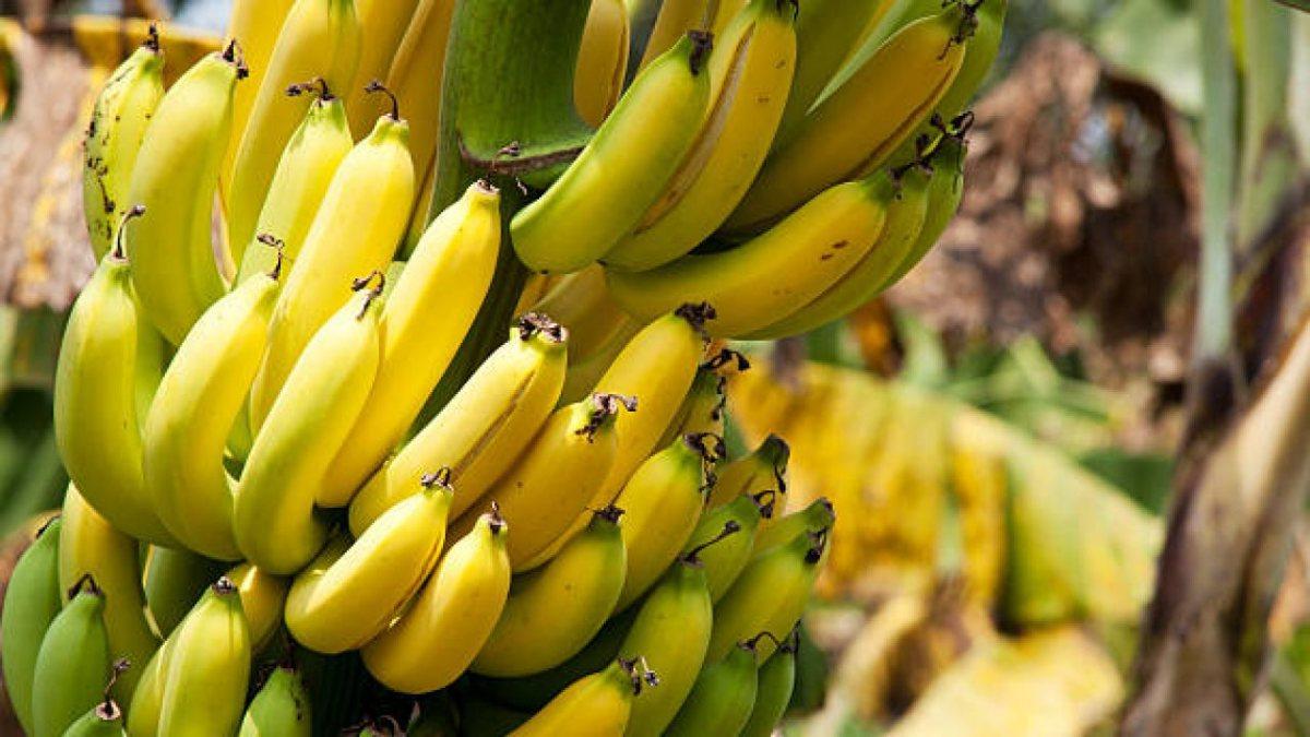 Yeşil ve sarı muz: Hangisi daha sağlıklı?